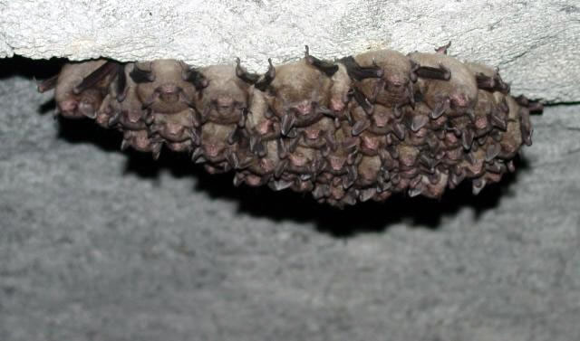 Bats hanging from cave ceiling